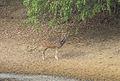 Axis deer.jpg