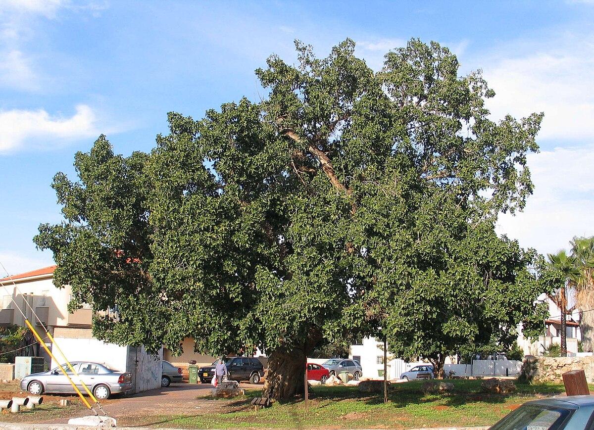 Ficus sycomorus - Wiki...