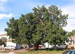 Ficus sycomorus wikip dia a enciclop dia livre for Significado de ornamental wikipedia