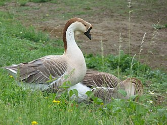 Goose - Chinese geese, the domesticated form of the swan goose