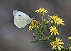 Büyük beyaz melek - Pieris brassicae.jpg