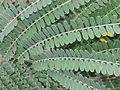 BCBG Colvillea racemosa leaves 01.jpg