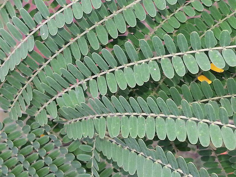 File:BCBG Colvillea racemosa leaves 01.jpg