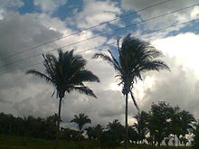 Two palms, their leaves held above horizontal, against a dark and cloudy sky. In the background there are several others.