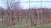 Baco Noir vines before budding(November 2006 in Nova Scotia).