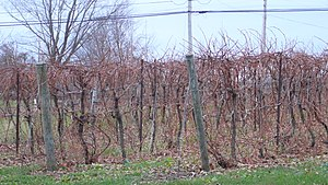 Baco noir - Baco Noir vines before budding (November 2006 in Nova Scotia).