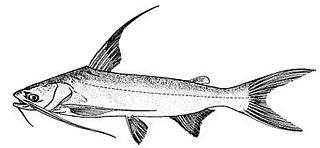 Gafftopsail catfish species of fish