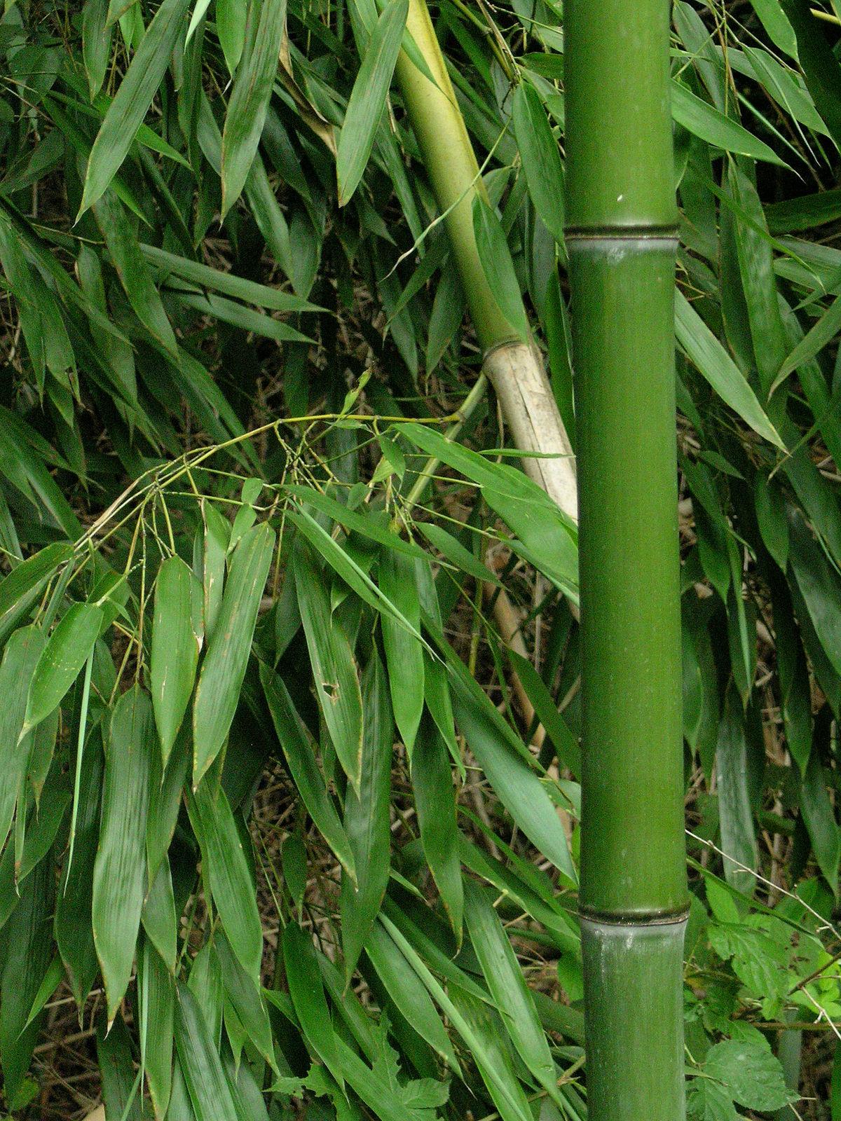 Bamboo Wiktionary