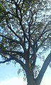 Banyabutumbi tree.jpg