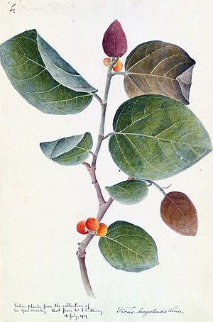 Trees of India - Image: Banyan botanical c 1800 1830