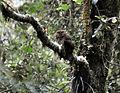 Bare-shanked Screech-Owl.jpg