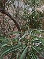 Barkleyanthus salicifolius (Family Asteraceae) - leaves.jpg