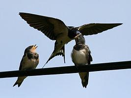 Barn Swallow (Hirundo rustica) (10).jpg