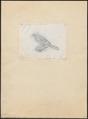Batrachostomus affinis - 1857-1858 - Print - Iconographia Zoologica - Special Collections University of Amsterdam - UBA01 IZ16700015.tif