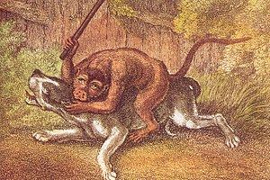 Monkey-baiting - The Battle of the Bulldog and the Monkey by Samuel Howitt Engraving, published 1799