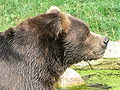 Bear head side kodiak.JPG