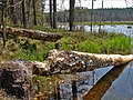 Beavers work - Masuria Poland - panoramio.jpg