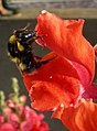 Bee on antirrhinum (17336629671).jpg