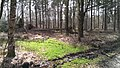 Beetsterzwaag forrest in April - panoramio (1).jpg