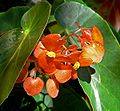 Begonia Orange Sherbet 2.jpg