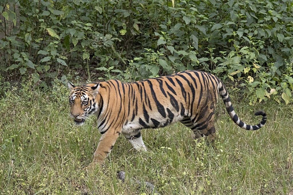https://upload.wikimedia.org/wikipedia/commons/thumb/9/97/Bengal_tiger_%28Panthera_tigris_tigris%29_female_3.jpg/1024px-Bengal_tiger_%28Panthera_tigris_tigris%29_female_3.jpg