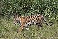 Bengal tiger (Panthera tigris tigris) female 3.jpg