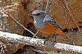 Benson's rock thrush (Monticola sharpei bensoni).jpg