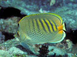 Spotband butterflyfish species of fish