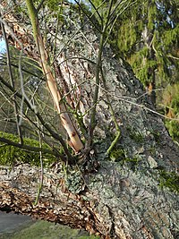 Bergpark Wilhelmshöhe - Baum 420 2019-12-19 d.JPG
