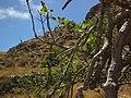Betancuria, 35637, Las Palmas, Spain - panoramio (188).jpg