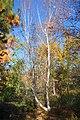 Betula platyphylla - Quarryhill Botanical Garden - DSC03356.JPG