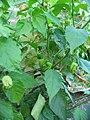 Bhut Jolokia - Pflanze mit unreifen Früchten.jpg