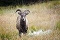 Bighorn Sheep - Kananaskis.jpg