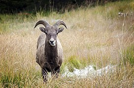 Bighorn Sheep - Kananaskis.jpg