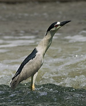 Black-crowned Night Heron Français : Bihoreau gris