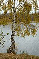 Birch in autumn.jpg