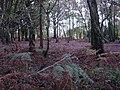 Birch woodland - geograph.org.uk - 77209.jpg