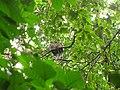 Bird White throated Brown Hornbill Anorrhinus austeni IMG 8142 12.jpg
