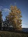 Bjørk ved Mjøsa 14-10-19.jpg