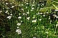 Blühende Wasserfeder - Hottonia palustris - im Schlappenmoor des NSG Nr. 76 Oberalsterniederung.jpg