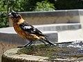 Black-headed grosbeak (40090060940).jpg