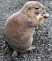 Black-tailed Prairie Dog (Cynomys ludovicianus) eating in Zoo Budapest 010.JPG
