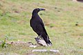 Black Currawong (Strepera fuliginosa) (8079687165).jpg