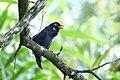 Black Laughingthrush Melanocichla lugubris, Malaysia 002k.jpg