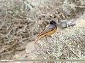 Black Redstart (Phoenicurus ochruros) (50123158348).jpg