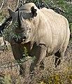 Black Rhinoceros (Diceros bicornis) (32197738883).jpg