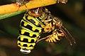 Black Swallowtail caterpillar - Papilio polyxenes, Eastern Yellowjacket - Vespula maculifrons and Flesh Fly, Glendening Preserve, Lothian, Maryland (24301965958).jpg