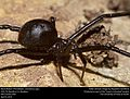 Black Widow (Theridiidae, Latrodectus spp.) (25792609613).jpg