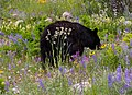 Black bear among the alpine flowers.jpg