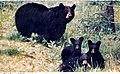Black bear and cubs in Laurel Ridge State Park - panoramio.jpg